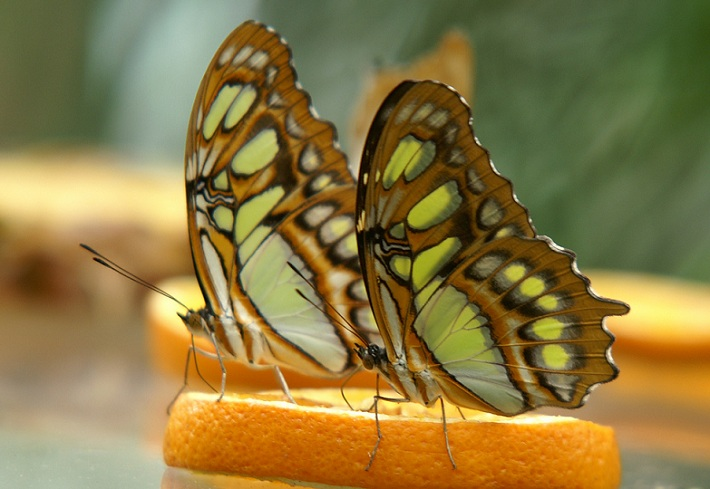 Butterflies on orange slice