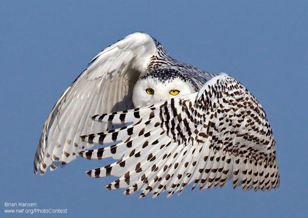 Snowy Owl by Brian Hansen