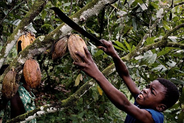 child harvesting huge cocoa bean