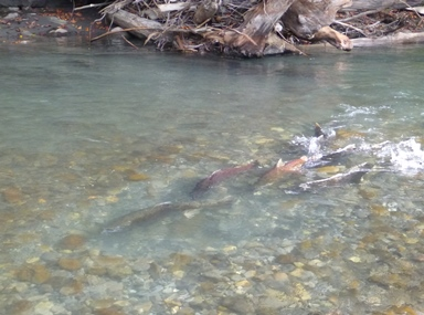 Chinook spawn in Elwha River