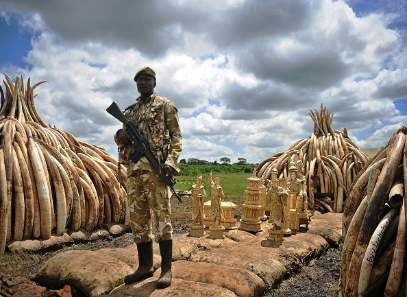 Kenya Wildlife Services (KWS) ranger stands guard next to illegal stockpile of elephant tusks and ivory figurines before their destruction
