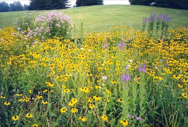 Rutgers wildflowers rain garden